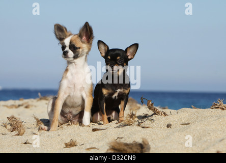 Dog Chihuahua longhair and shorthair /  adult and puppy different colors sitting on the beach - Stock Photo
