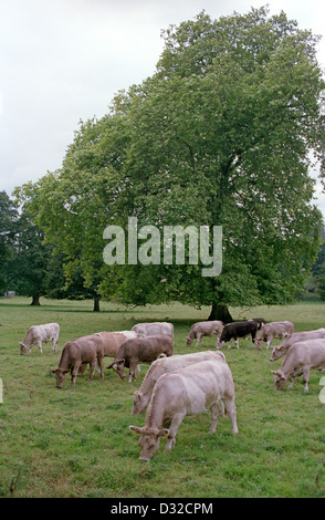 Charolais cross breed cattle grazing in field, Mid Wales - Stock Photo