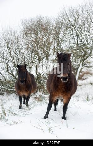 Dartmoor ponies in snowy winter weather on Dartmoor near the Warren House Inn. - Stock Photo
