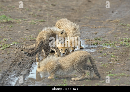 Cheetah cubs drinking from a pool on the tyre track in Ndutu in Ngorongoro conservation area in north Tanzania, - Stock Photo