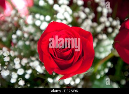 Red rose, Genus rosa - Stock Photo