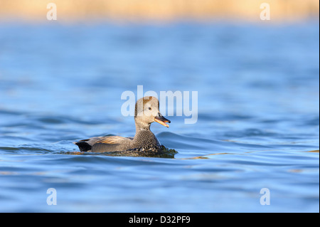 Adult Male Gadwall (Anas strepera) Calling, Dallas, Texas - Stock Photo