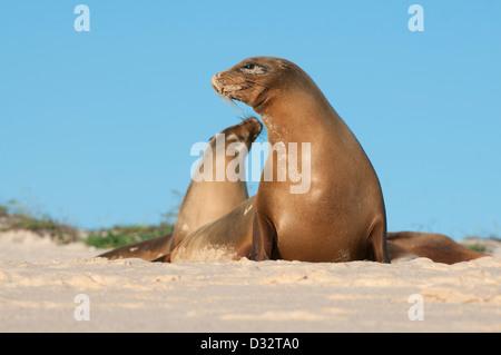 Galápagos sea lions (Zalophus wollebaeki) Cerro Brujo, San Cristobal Is. Galapagos - Stock Photo