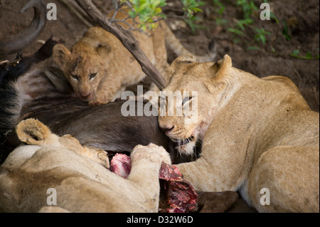 Lions with cubs on a kill (Panthero leo), Maasai Mara National Reserve, Kenya - Stock Photo