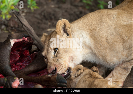 Lions on a kill (Panthero leo), Maasai Mara National Reserve, Kenya - Stock Photo