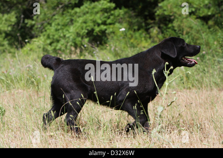 Dog Labrador Retriever  /  adult walking in a meadow - Stock Photo