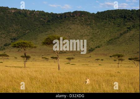 Lion (Panthero leo) in front of the Oloololo escarpment, Maasai Mara National Reserve, Kenya - Stock Photo