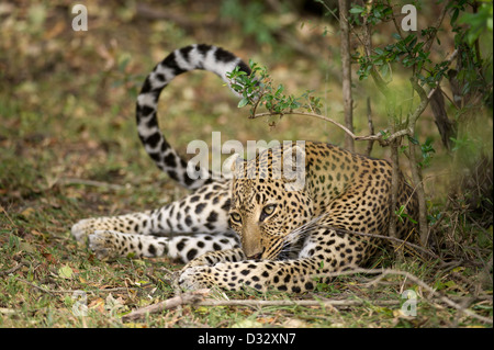 Leopard (Panthera pardus), Maasai Mara National Reserve, Kenya - Stock Photo
