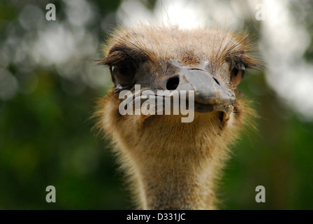 Close up detail of the head of an ostrich - Stock Photo