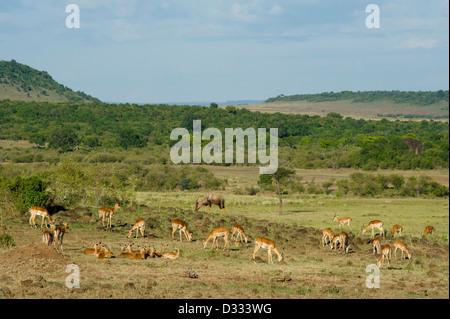 Impala (Aepyceros melampus), Maasai Mara National Reserve, Kenya - Stock Photo