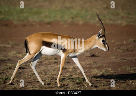 Thomson's gazelle (Gazella thomsoni), Maasai Mara National Reserve, Kenya - Stock Photo