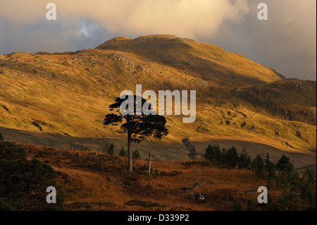 Pine trees silhouetted beneath hills of the Ben More Crianlarich range, Scottish Highlands - Stock Photo