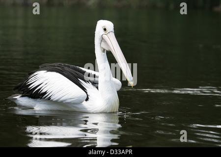 An Australian Pelican ( pelecanus conspicillatus ) swimming on a lake - Stock Photo