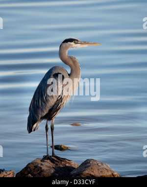 A Great Blue Heron, Ardea herodias, perched on rocks at the edge of a lake in Oklahoma, USA. - Stock Photo