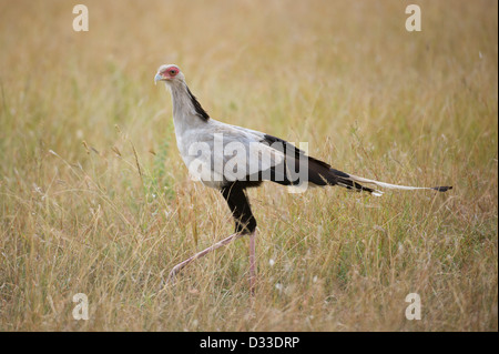 Secretarybird (Sagittarius serpentarius), Maasai Mara National Reserve, Kenya - Stock Photo