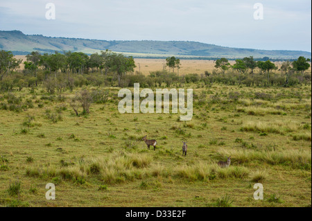 Defassa waterbuck (Kobus ellipsiprymnus defassa) seen from a hot-air balloon, Maasai Mara National Reserve, Kenya - Stock Photo