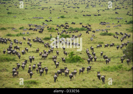 Blue wildebeest (Connochaetes taurinus)  migration seen from a hot-air balloon, Maasai Mara National Reserve, Kenya - Stock Photo