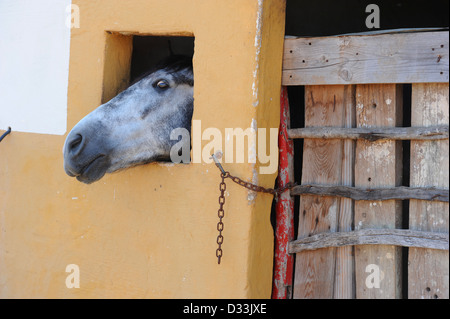 Grey horse with its head through stable window, Menorca, Spain - Stock Photo