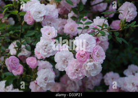 Climbing patio rose 'Little Rambler' - Stock Photo