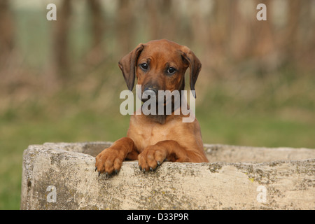 Dog Rhodesian Ridgeback / African Lion Hound  puppy sitting on a wall - Stock Photo