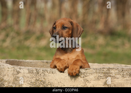Dog Rhodesian Ridgeback / African Lion Hound  puppy lying on a wall - Stock Photo