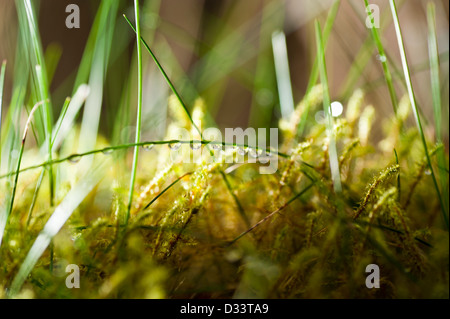 close up macro photography of dew drops droplets of water on blades of grass and green moss vegetation - Stock Photo