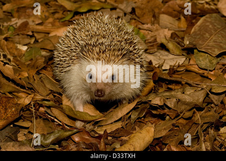 A Hedgehog foraging in leaf litter - Stock Photo