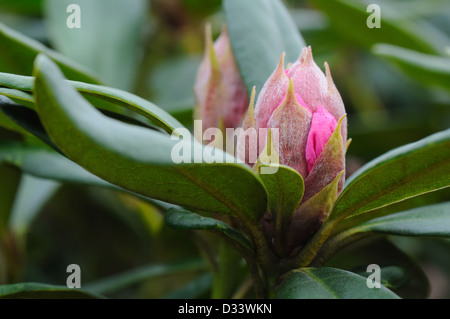 Rhododendron bud starting to open nearing the end of winter in Scotland. - Stock Photo