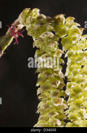 Hazel flowers (Corylus avellana) red female flower and male catkins in early spring, close-up, Dorsert, England, - Stock Photo