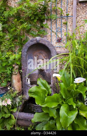 Fountain in house wall. Zantedeschia aethiopica 'Crowborough' -Arum Lily - Stock Photo