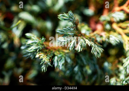 Branch of thuja tree in a zone of sharpness on a dim background. - Stock Photo