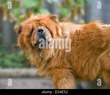 The dog of breed ' Chow-chow ' poses in front of the camera - Stock Photo