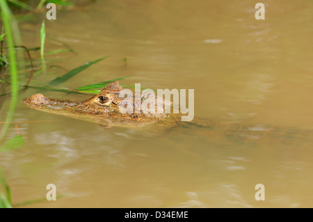 Young spectacled caiman (Caiman crocodilus) in the water of Caño Negro Wildlife Refuge. Costa Rica. - Stock Photo