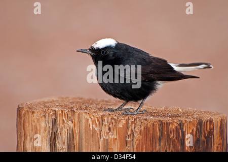 White-crowned Wheatear standing on a stump - Stock Photo