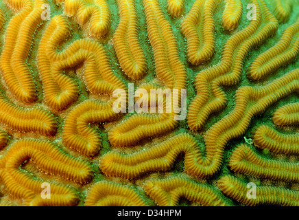 close up image of brain coral underwater - Stock Photo