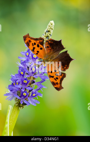 Question Mark butterfly (Polygonia interrogationis) on Pickerelweed (Pontederia cordata) flowers - Stock Photo