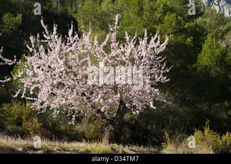 Flowering almond tree against the background of Mediterranean pine forest - Stock Photo
