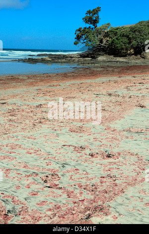 Red algae washed up with the tide on Waipu Cove beach in northland - Stock Photo