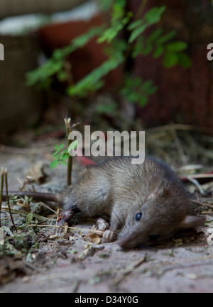 Dead rat in garden - Stock Photo