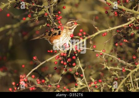 Redwing (Turdus iliacus) adult, feeding on hawthorn berries, Yorkshire, UK, November - Stock Photo