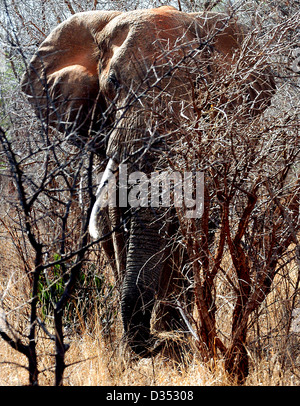 African Elephant, (male), searching for food towards the end of Kenya's dry season in the Tsavo West National Park. - Stock Photo