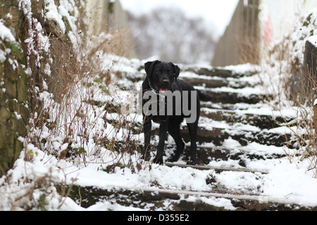 Labrador Retriever in winter snow on steps waiting - Stock Photo