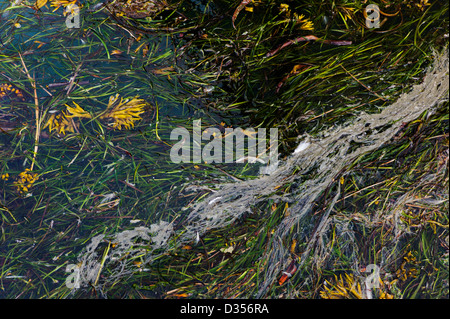 Pollutants mix with seaweed in the harbor water, Homer, Alaska, USA - Stock Photo