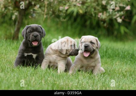 Dog Cane Corso / Italian Molosser  three puppies different colors sitting in a garden - Stock Photo