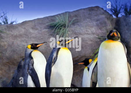 A close up shot of a group of King Penguins (Aptenodytes patagonicus) - Stock Photo