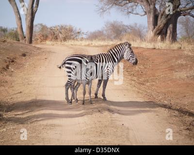 zebra fawn crossing black and white road mom baby foal stripes africa national park safari bush road tanzania tarangire - Stock Photo