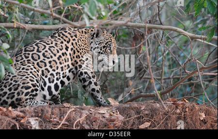 Jaguar -  Panthera onca , Pantanal - Stock Photo