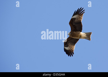 Black Kite, Milvus migrans flying in the air and seen from below - Stock Photo