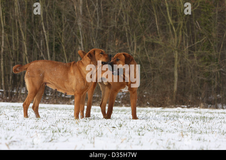 Dog Tosa Inu / Japanese Mastiff  two adults running in snow - Stock Photo