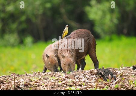 Capybara family on beach midafternoon in Pantanal, Brazil. - Stock Photo